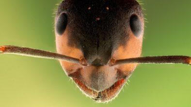 ferda mravenec