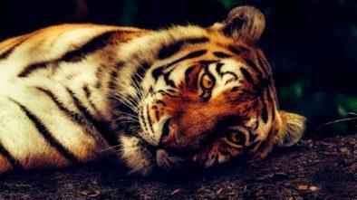 Stanovisko UCSZOO k chovu velkých kočkovitých šelem