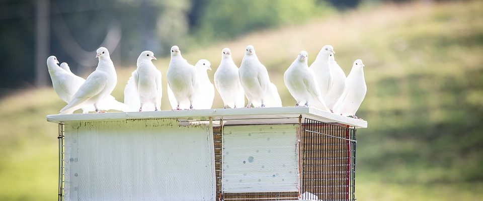 Chcete chovat holuby?